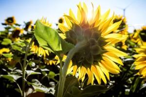 Noviteti u zaštiti suncokreta od bolesti - ojačajte korijen i povećajte otpornost na sušu!