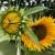 Izmjena kiše i sunca ove sedmice omogućit će intenzivan rast usjeva