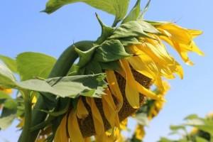 Šta treba da znate o uspješnom uzgoju suncokreta?