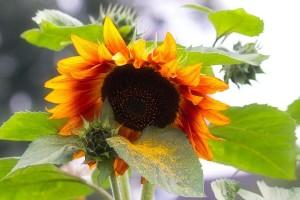 Suncokret je ukras svake bašte i lako ga je uzgajati