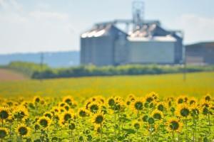 Cena suncokreta u Bugarskoj raste zbog velike potražnje iz EU i Turske