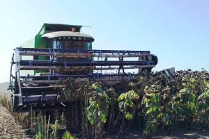 Žetva suncokreta: Nove tehnologije i visokooleinske sorte dale prinos od 4 t/ha