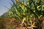 Suša smeta kukuruzu, preti smanjenje prinosa