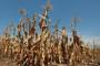 Štete od suše na usjevima oko 500 milijuna kuna