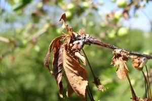 Sušenje cvetova i grana na koštunjavom voću