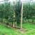 Uzgoj jabuke u špaliru - kvaliteta ispred kvantitete