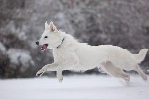 Beli švajcarski ovčar - privržen i odan pas