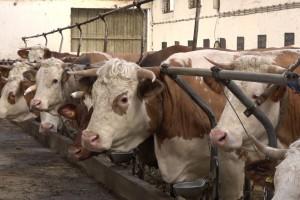 Mali proizvođači mleka gase farme, srednji sve teže proširuju