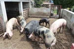 Kako zaustaviti dalji pad proizvodnje svinjskog mesa u Srbiji?