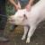 Nova pravila kod klanja svinja, šta predlaže Europska komisija?