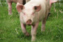 Nijemci - glavni proizvođači svinjetine