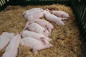 Afrička kuga svinja se iz Rumunije približila Srbiji