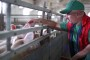 Svinje i perad ne smiju jesti neprerađenu soju!