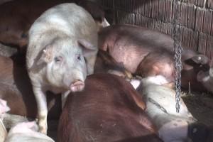 Hrvoje Korov: Nije pitanje hoće li afrička svinjska kuga doći, već kada će doći