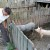 Skuplja svinjetina neće popraviti stanje u stočarstvu - proizvođači na gubitku?