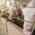 Kina: Uvoz svinjetine u aprilu skočio za 24 posto