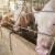 Kina: Uvoz svinjetine u aprilu skočio za 24 odsto