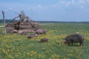 Lovci – prva linija obrane od afričke svinjske kuge