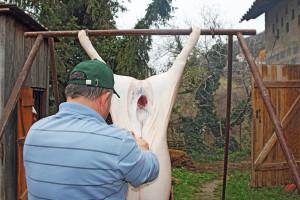 Svinjokolja: Oprez pri klanju i obradi tovljenika - savjetuju stručnjaci