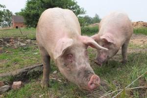 Ubili gotovo 50.000 svinja - Rumuniji preti epidemija afričke svinjske kuge
