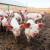 Usmrćeno gotovo milion svinja zbog afričke svinjske kuge