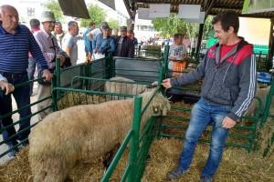 Zoran Jovanović: Svrljiška ovca daje kvalitetno meso i vrlo je mlečna