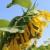 Šta treba da znate o uspešnom uzgoju suncokreta?