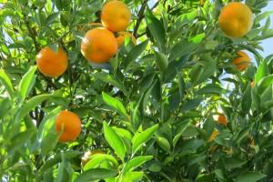 Proizvođači mandarina zbog izvoza traže da inspekcija radi 24 sata dnevno, 7 dana u tjednu