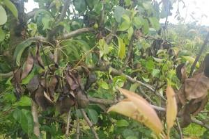 Bakterioza ervinija ponovo napada voćnjake, zaštite ih duvanom