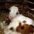 Sterilitet kod krava: 5% ne može ostati steono