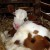 Sterilitet kod krava: 5% ne može ostati gravidno