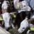 U domaćinstvu porodice Peretija krava otelila tri teleta