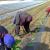 Iznošenje tikvica na otvoreno polje - vodite računa o navodnjavanju