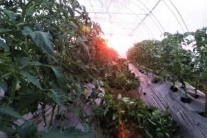Kako spriječiti plamenjaču kod paradajza?