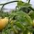 Velika vlaga tokom proljeća uticala na pojavu oboljenja na paradajzu, kako djelovati?