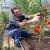 Pepino virus mozaika - opasnost za plasteničku proizvodnju paradajza
