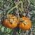 Moljac paradajza: Gusenice mogu u potpunosti da unište usev
