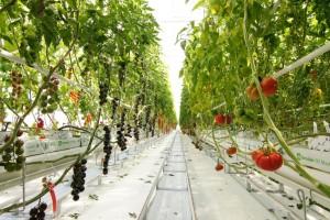 "Syngenta ogledni centar ""Tomato Vision"" sa modernom tehnologijom i novim hibridima"