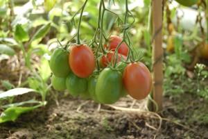 Dođite na predavanje za proizvođače povrća u zaštićenom prostoru