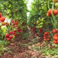 Odakle dolazi TOP 10 uzgajivača rajčica u Hrvatskoj?