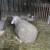 Kako odrediti starost kod ovaca?