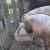 Raste cena svinja, ali ne u svim krajevima Srbije
