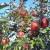 Čuvaju stare sorte voća - lijepo cvjetka, božićnica, tepka, bistrica imaju budućnost