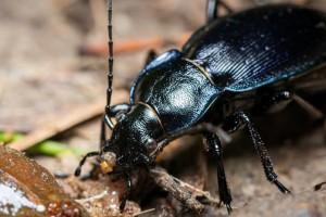 Trčci su većinom korisni insekti, ali žitni bauljar pravi štete na klasovima