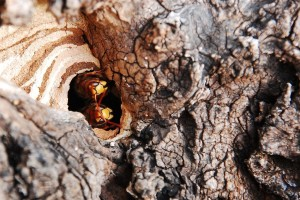 Drvosječa preživio 67 uboda stršljenova!