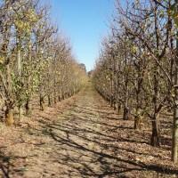 Jesenska primjena uree u nasadima voća
