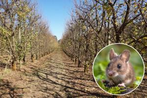 Sunčano sve do kraja nedelje: Zaštite stabla voćaka od glodara