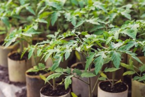 Tresetna mahovina se koristi i kod uzgoja rasada - apsorbuje vodu i hranljive materije
