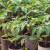 Tresetna mahovina koristi se i kod uzgoja rasada - apsorbuje vodu i hranjive materije
