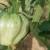 Tresetna mušica napada i rajčicu - jednom kada se pojavi u povrtnjaku, nije ju lako suzbiti